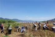 부산 북구, 코로나19 극복 기원하며 '밀 수확'